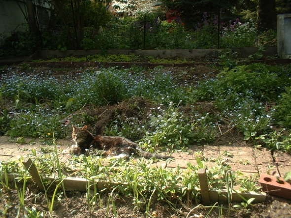 Stanley dozes in the early spring garden while supervising my work.