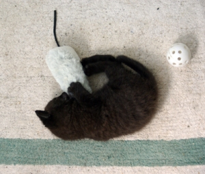 Fromage rols back and forth and plays with two toys at once.