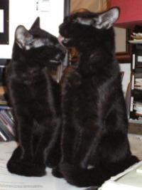 kittens bathing each other