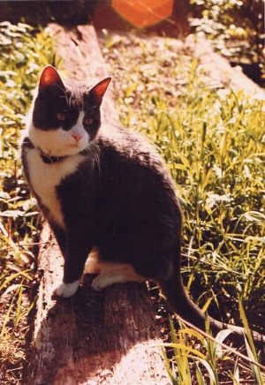 a photo of Bootsie, the gray and white cat I had growing up