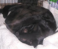 photo of black cat nursing kittens