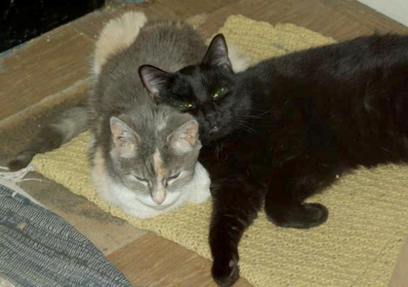 black cat using calico cat for a pillow