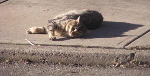 The neighborhood tomcat