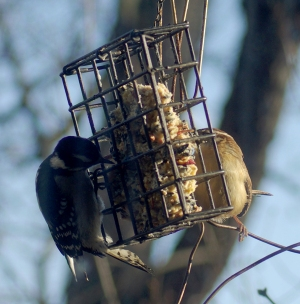 woodpecker and wren at suet cake