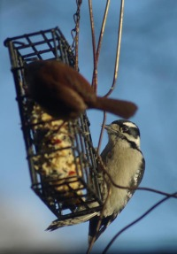 woodpecker and wren at feeder