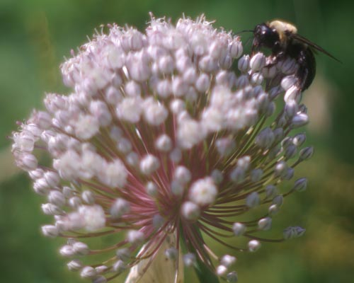 photo of bee on leek flower