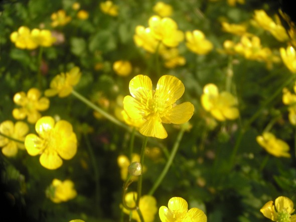 photo of buttercups