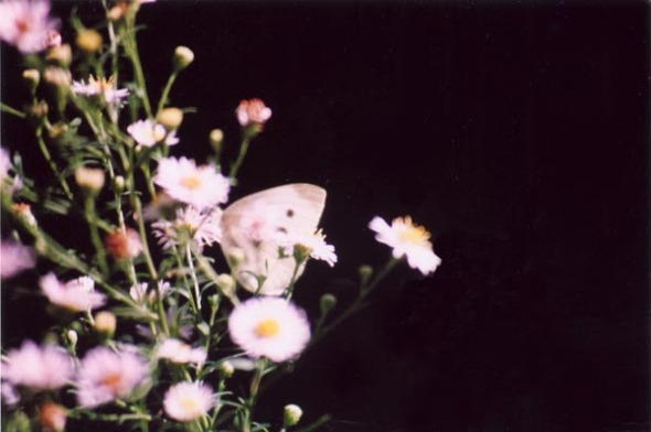photo of cabbage butterflies on asters