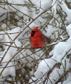 male cardinal in snowy forsythia