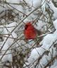CardinalInForsythia