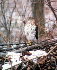 photo of cooper's hawk on brush pile