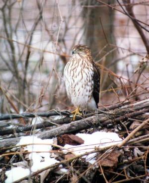 photo of cooper's hawk on brush pile