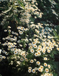 photo of feverfew