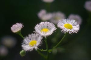 close-up photo of fleabane