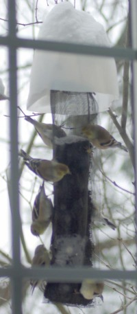 photo of goldfinches on thistle feeder