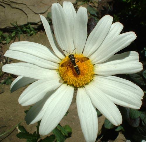 photo of daisy with tiny bee