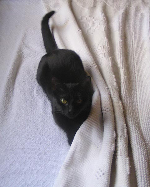 photo of black cat in bed covers