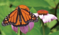 photo of monarch butterfly on echinacea