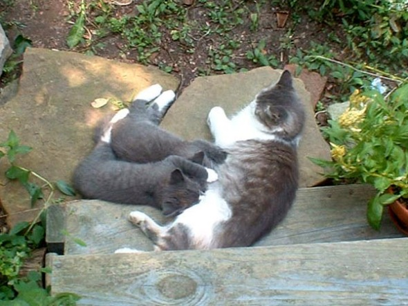 gray and white cat nursing two gray kittens outdoors