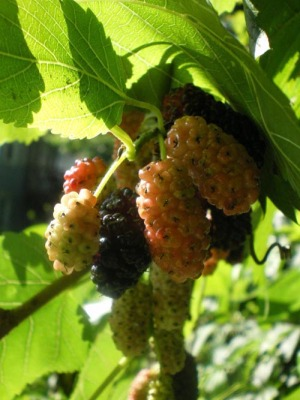 photo of mulberries