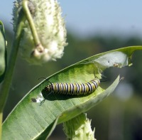 photo of monarch caterpillar eating milkweed leaf