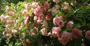 photo of pink climbing roses