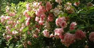 photo of pink climbing roses