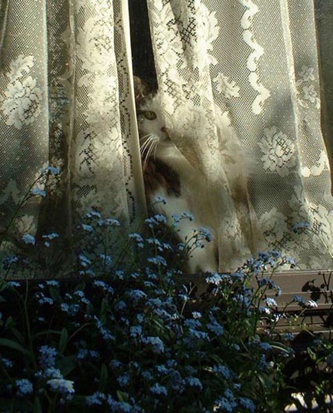 photo of a cat at a window with lace curtain