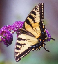 photo of tiger swallowtail on butterfly bush