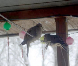 photo of doves on clothes line