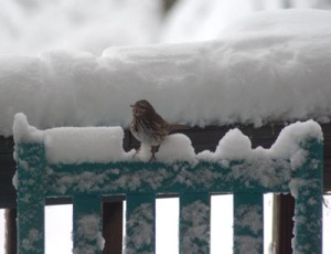 photo of song sparrow on rocker