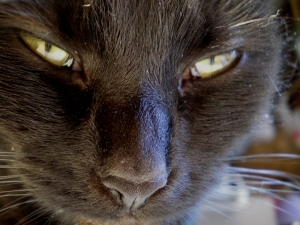 close up photo of a black cat