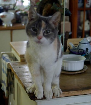 photo of calico cat