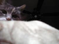 cat peaking over blanket