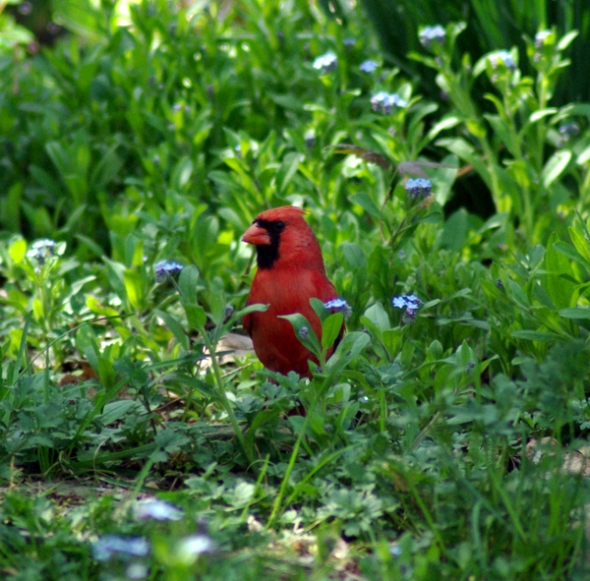 photo of cardinal in grass