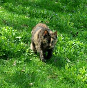 photo of tortoiseshell cat in grass