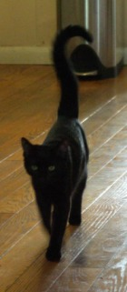 photo of black cat walking