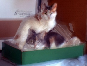 two calico cats in a box