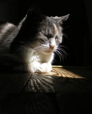 photo of calico cat on wooden floor