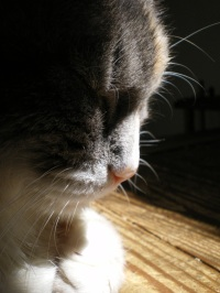 profile of calico cat