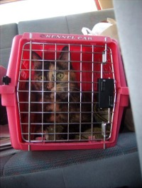 cat in carrier in the car