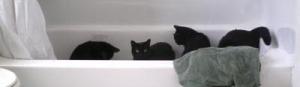 cats in bathtub