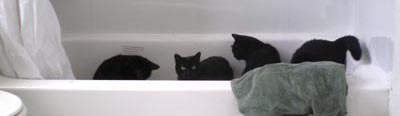cats in bathtub