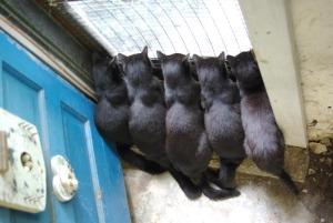 five black cats at basement door