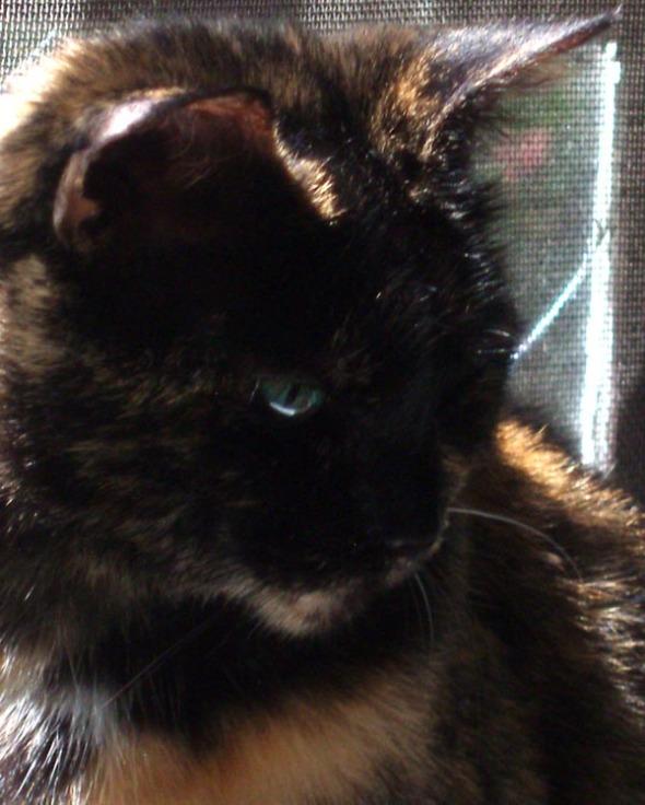 closeup of tortie cat