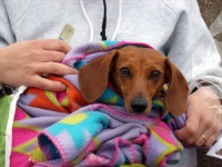 photo of dachshund in blanket