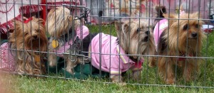 photo of four yorkies