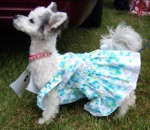 photo of yorkie with dress