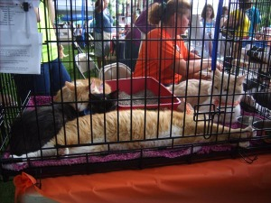adult cats in cages