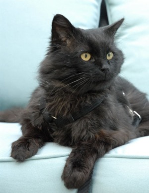 long-haired black cat